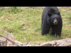 Yosemite Nature Notes®: Black Bears