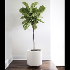 Find out how to grow and care for fiddle leaf fig. Learn about the right growing requirements and fiddle leaf fig care below.Find out how to grow and care for fiddle leaf fig. Learn about the right growing requirements and fiddle leaf fig care below. Interior Plants, Interior And Exterior, Ficus Lyrata, Plantas Indoor, Fiddle Leaf Fig Tree, Fig Leaf Tree, Fig Tree Plant, Deco Nature, Nature Decor