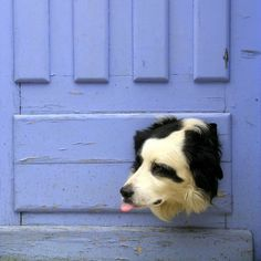 Border Collie lookout