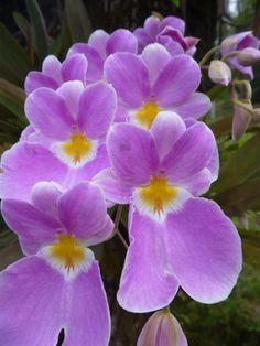 Orchid Miltonia