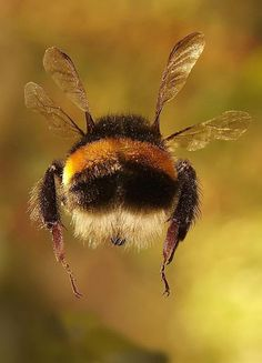 Spring Beautiful bumble bee I wish I could get a great photo. One of the best examples of wildlife photography Amazing Animals, Animals Beautiful, Animals And Pets, Cute Animals, Foto Macro, I Love Bees, Bee Art, Beautiful Bugs, Tier Fotos
