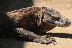 Komodo dragon, Komodo, Rinca, Flores, Labuan Bajo, Indonesia, Komodo-Waran, Indonesien