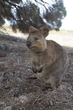Quokka and baby Quokka in pouch. Quokkas only live on one ...