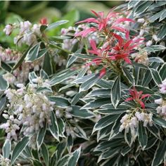 THIS is the most spectacular shrub I've ever seen for zone Japanese Flaming Silv Andromeda Japanese Pieris, Zone 5, New Growth, Garden Landscaping, Landscaping Ideas, White Trim, Green Leaves, Shrubs, Beautiful Homes