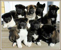 Akita Puppies!  WANT!
