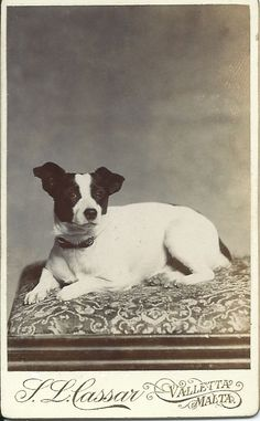 cdv of Jack Russell terrier. From bendale collection Rat Terrier Puppies, Toy Fox Terriers, Jack Russell Dogs, Jack Russell Terrier, Photos With Dog, Dog Pictures, Jack Russells, Dog Rules, Animales