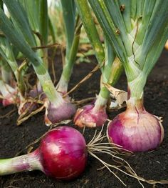 Alternative Gardning: 8 Tricks For Growing Onions