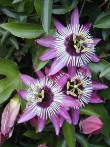 Passion flower is considered a mild sedative and can help promote sleep. Passion flower also treats anxiety, insomnia, depression and nervousness.