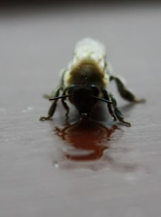 Close up pictures of a honey bee I found and revived. I am using these pictures as inspiration for honey bee natural history illustration plates. Close Up Pictures, Natural History, Rainy Days, Austria, Bee, Honey, Creatures, Plates, Autumn
