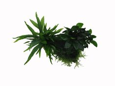 Wood, Anubias & Moss www.fishkeeper.co.uk #AquariumPlants