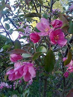 koristeomenapuu