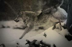 Gray Wolf--Running With Wolves Photo