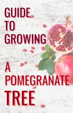 Grow your own Pomegranate tree in the ground or in a container. Pomegranates are prized fruits with Pomegranate Growing, Pomegranate Recipes, Pomegranate Tree Care, Pomegranate Varieties, Home Vegetable Garden, Herb Garden, Garden Plants, Growing Fruit Trees, Growing Tree