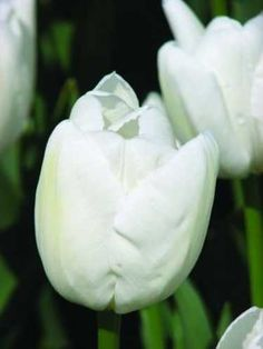 "Tulipa 'Hakuun' - Mid-spring blooming Darwin Hybrid tulip bulb that is pure white and then opens with just a hint of cream on the sepals. Tulip Hakuun force well, is very reliable, has long-lasting flowers and is considered a long term perennial. Like all tulipa, tulip bulbs are from the Liliaceae family. This fall planted tulip bulb requires full sun and average soil. Tulip Hakuun blooms 16""-20"" tall and is good for winter hardiness zones 3-9."