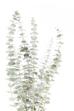 Stills : eucalyptus Cute Wallpapers, Wallpaper Backgrounds, Iphone Wallpaper, Watercolor Leaves, Watercolor Art, Photoshop Elementos, Wall Collage, Wall Art, Deco Floral