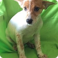 Adopt A Pet :: Abercrombie - Brattleboro, VT