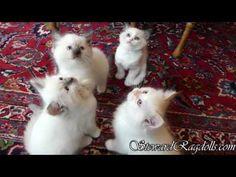 House of Steward Ragdoll Kittens