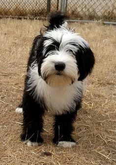 RinChen Tibetan Terriers - **RinChen Tibetan Terrier Puppies available in - Tibet-Terrier - Terrier Breeds, Terrier Puppies, Bull Terrier Dog, Cairn Terriers, Yorkshire Terriers, Boston Terriers, Irish Terrier, Tibetan Terrier, Scottish Terriers
