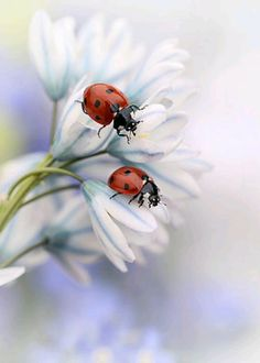 Global Gallery 'Ladybirds' by Ellen Van Deelen Photographic Print on Wrapped Canvas Beautiful Bugs, Beautiful Flowers, Tier Fotos, Nature Images, Belle Photo, Art Photography, Daisy, Cute Animals, My Arts