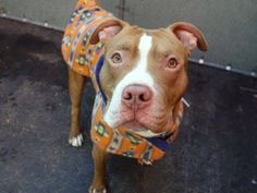 TO BE DESTROYED - 01/26/15 Manhattan Center  My name is JIGGY. My Animal ID # is A1025879. I am a male tan and white pit bull mix. The shelter thinks I am about 2 YEARS   I came in the shelter as a STRAY on 01/20/2015 from NY 10302, owner surrender reason stated was STRAY.