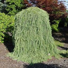 The Dwarf Weeping Larch Tree | 22 Insanely Cool Conversation-Piece Plants For Your Garden