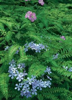 I love the combination of maidenhair ferns and woodland phlox. The pink geraniums can go.