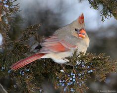 Christmas Cardinal by Danny Brown