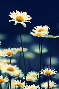 Daisies by sylverface.deviantart.com on @deviantART..............d