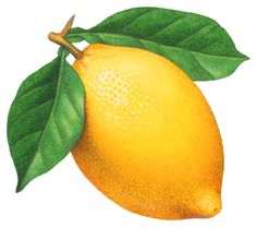 Botanical illustration of a lemon on a branch with leaves