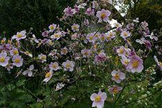 Anemone 2 Plants, Plant, Planting, Planets