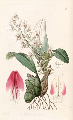 Orchid, Eria bractescens, Edwards vol 30 (NS7) pl. 29 (1844), botanical illustration.