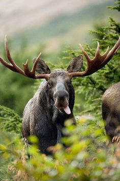 A bull Moose (Alces alces) takes a little break from eating in interior Alaska. photograph by Ryan Hagerty, USFWS Nature Animals, Animals And Pets, Funny Animals, Cute Animals, Animals Planet, Moose Pictures, Animal Pictures, Free Pictures, Beautiful Creatures