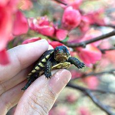 Baby turtle @peonytheturtle Baby Turtles, Reptiles, Peonies, Life Is Good, Explore, Animals, Instagram, Animales, Animaux