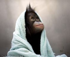 Comfy: Kalabatu wraps herself up in a towel at the conservation centre