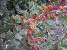 Kolibri kertészet - Szentjánoskenyérfa (Ceratonia siliqua)