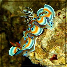 Sea Slug (chromodoris kuniei - nudibranch) ~ By Artefax Jericho