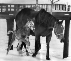 Fanfreluche, a Northern Dancer daughter, was stolen in June 1977 while in foal to Triple Crown winner Secretariat. She was found on a farm in Kentucky five months later. Here, in February 1978, she walks through the snow with the new foal. Fanfreluche won the Eclipse Award for outstanding 3-year-old filly in 1970 and was also Canadian horse of the year.