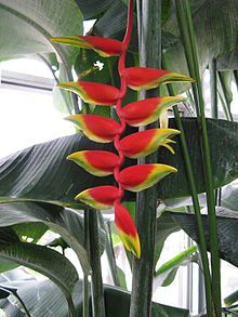 Heliconia rostrata - Heliconias are tropical plants related to bananas, cannas and gingers in the order Zingiberales. Tropical Landscaping, Landscaping With Rocks, Tropical Garden, Tropical Plants, Landscaping Tips, Hawaiian Flowers, Tropical Flowers, Toxic Plants For Cats, Paradise Flowers