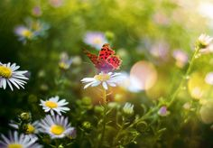 To attract butterflies to your garden, concentrate on plants with long blooming cycles, such as hollyhocks, coneflowers, nasturtiums, sunflowers, and even blossoming weeds. Blooming herbs are a special treat, as irresistible to butterflies as apple pit is to humans.   - CountryLiving.com