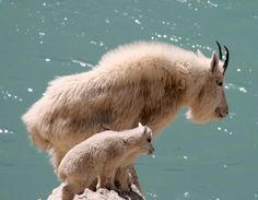 Mountain Goats. by Lilliendahl.deviantart.com on @deviantART