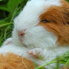 Did you know that guinea pig teeth never stop growing? That's why they need to constantly gnaw on things!