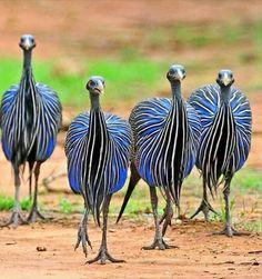 Vulterine guinea fowl Pretty Birds, Beautiful Birds, Animals Beautiful, Nature Animals, Animals And Pets, Cute Animals, Unique Animals, Exotic Birds, Colorful Birds