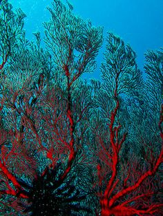 #red #coral, #Bali