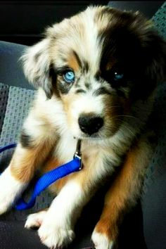 Beautiful Australian Sheppard puppy that I can't have.