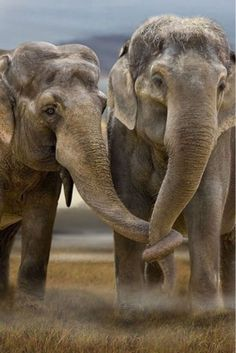 Let's hold trunks #Elephant love!