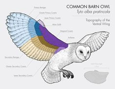 barred owl wing anatomy - Google Search