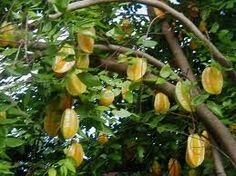Tropical Fruit, Nut and Spice Trees Carambola, Starfruit