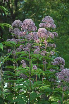 Tall Joe Pye Weed (Eupatorium fistulosum)