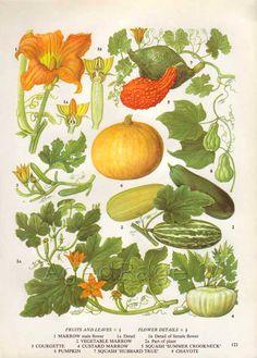 Vintage Botanical Print, Food Plant Chart, Art Illustration, Wall Decor, Pumpkin, Squash. $10.00, via Etsy.