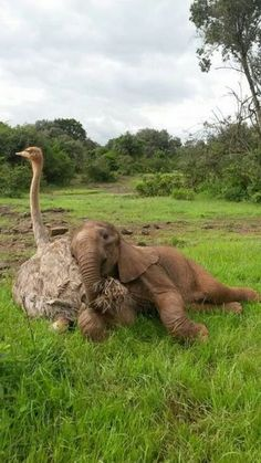 Ostrich and elephant calf